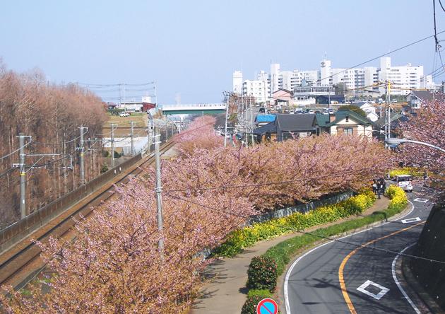 Сакура в Иокогаме