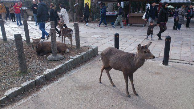 Нара, олени, январь
