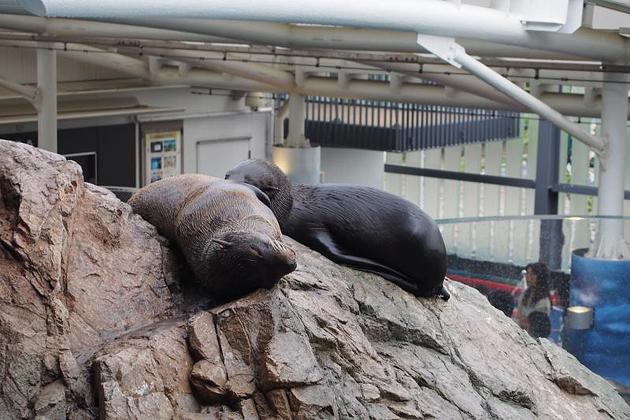 Морской котик, океанариум Киото