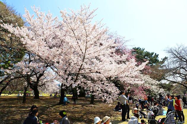 сакура в парке Синдзюку, Токио
