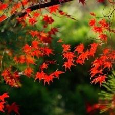 Листопад в Японии: сезонный прогноз